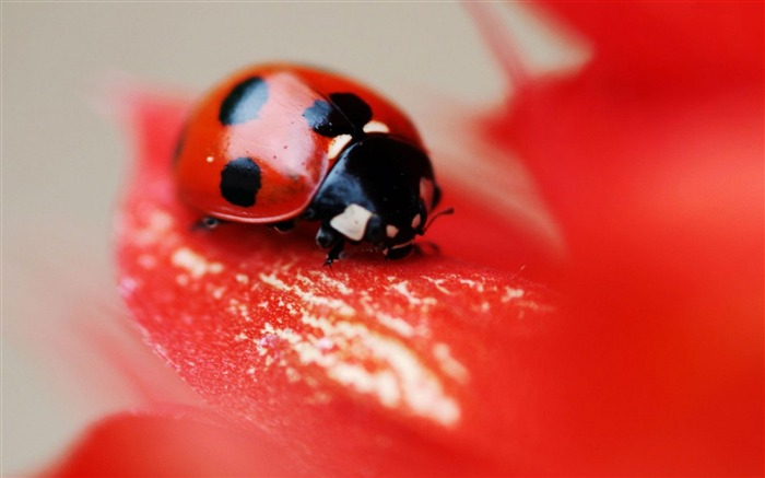 ladybird red beetle flower-Animal High Quality Wallpaper Views:2015
