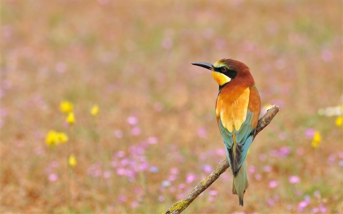 Bee-eater golden flowers-Animal High Quality Wallpaper Views:686