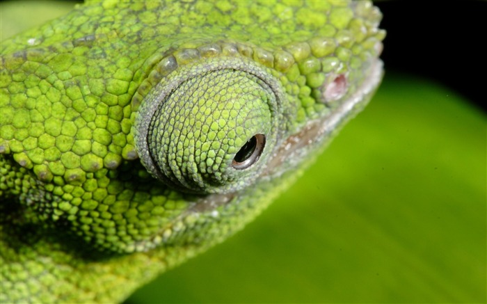 Chameleon color eyes-Animal High Quality Wallpaper Views:1443