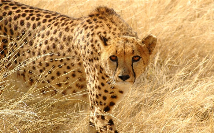 Cheetah grass hunt look attentive-Animal High Quality Wallpaper Views:1432