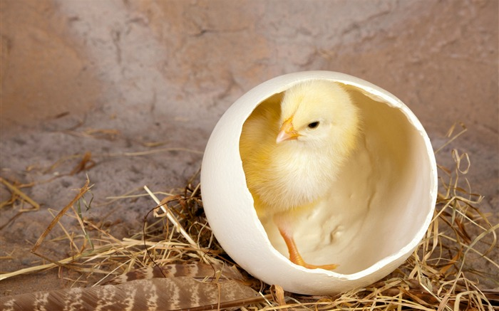Chicken shells feathers hay-Animal High Quality Wallpaper Views:1705