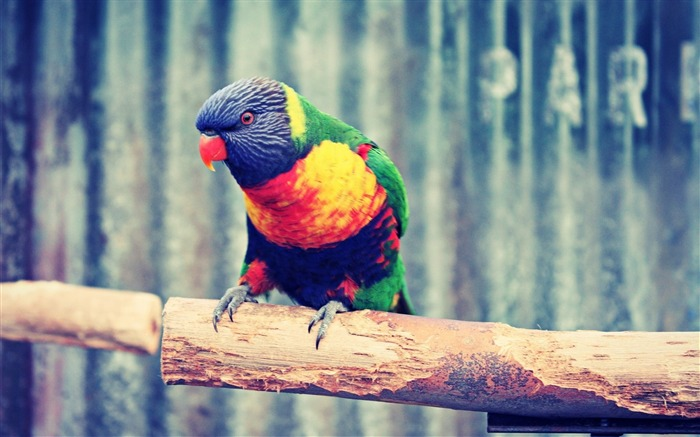 Parrot branch colorful-Animal High Quality Wallpaper Views:608