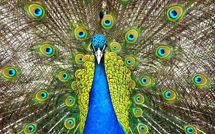 Peafowl animals-2016 High Quality Wallpaper Views:1546