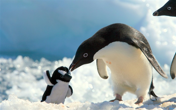 Penguins snow baby care-Animal High Quality Wallpaper Views:830