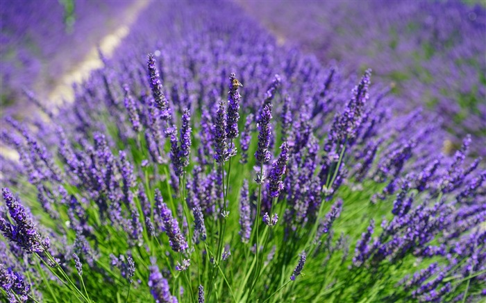 Purple lavender plants-2016 High Quality Wallpaper Views:1943