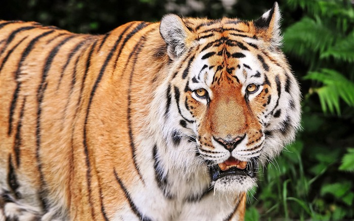 Tiger aggression striped-Animal High Quality Wallpaper Views:573