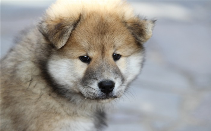 Eurasier puppy dog-2016 Animal High Quality Wallpaper Views:1409
