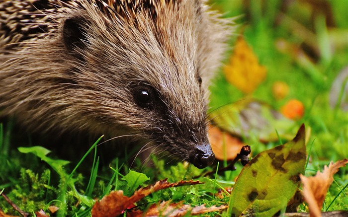 Hedgehog spines leaves-2016 Animal High Quality Wallpaper Views:1008