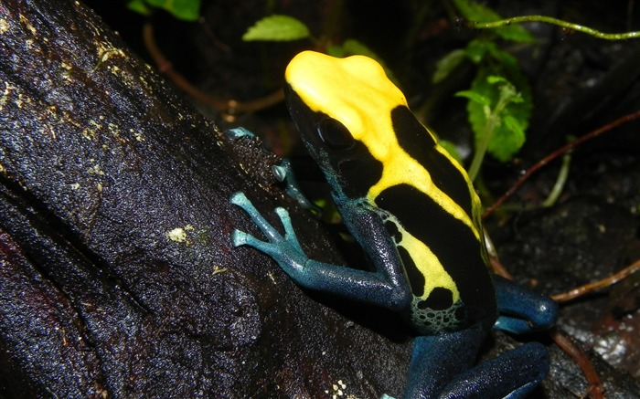 Poison dart frog color reptile-2016 Animal High Quality Wallpaper Views:1251