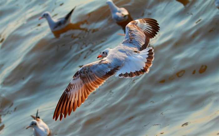 Seagulls birds flying sea-2016 Animal High Quality Wallpaper Views:452
