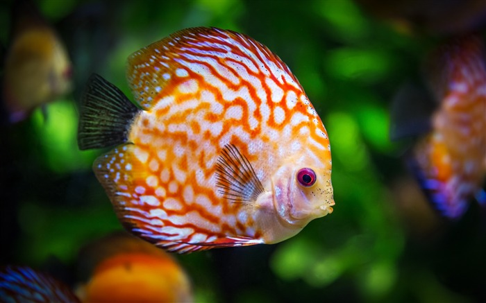 Discus fish color-2016 High Quality HD Wallpaper Views:1022