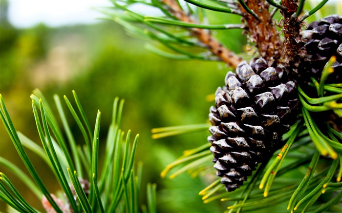 Gray pine cones attached on tree-2016 High Quality HD Wallpaper Views:987