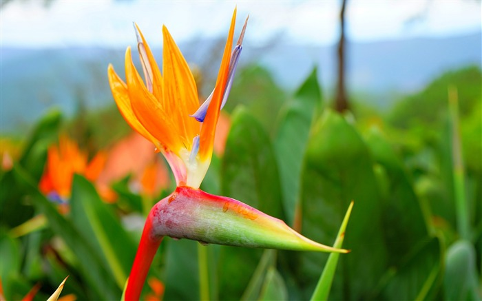 Strelitzia reginae flower thien dieu-2016 High Quality HD Wallpaper Views:1183