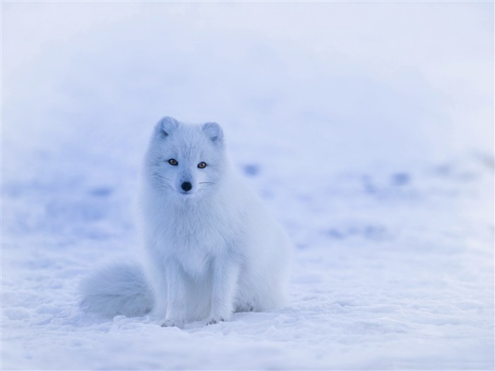 Winter white fox-2016 High Quality HD Wallpaper Views:1452