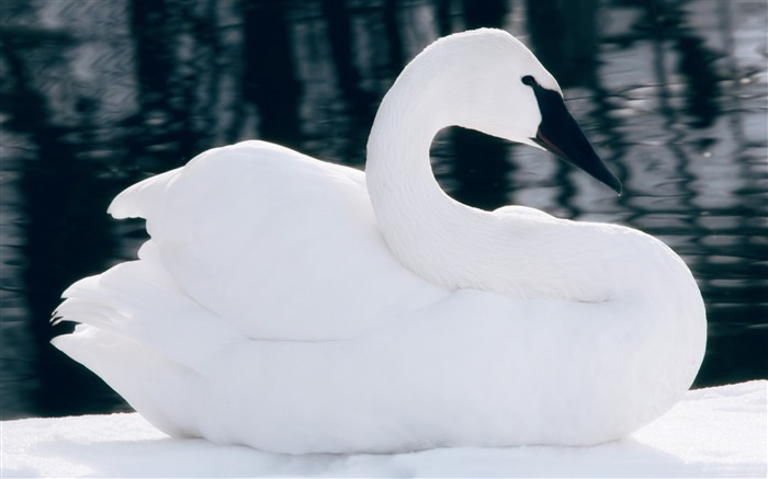 Winter white swan-2016 High Quality HD Wallpaper Views:983