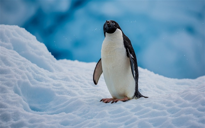 Antarctic continent penguin animal photo wallpaper Views:4026