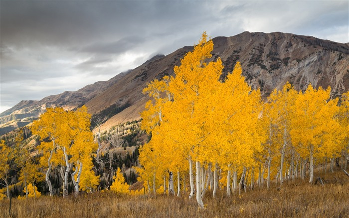 Aspen trees in the fall-Nature HD Wallpaper Views:1891