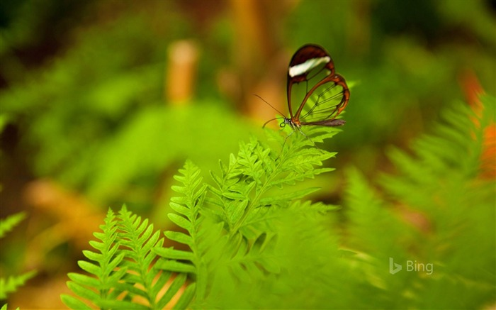 A glasswing butterfly perched on a leaf-2017 Bing Desktop Wallpaper Views:595