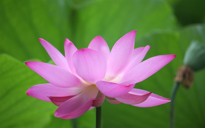 Blooming Pink Lotus Photo Desktop Wallpaper Views:4261
