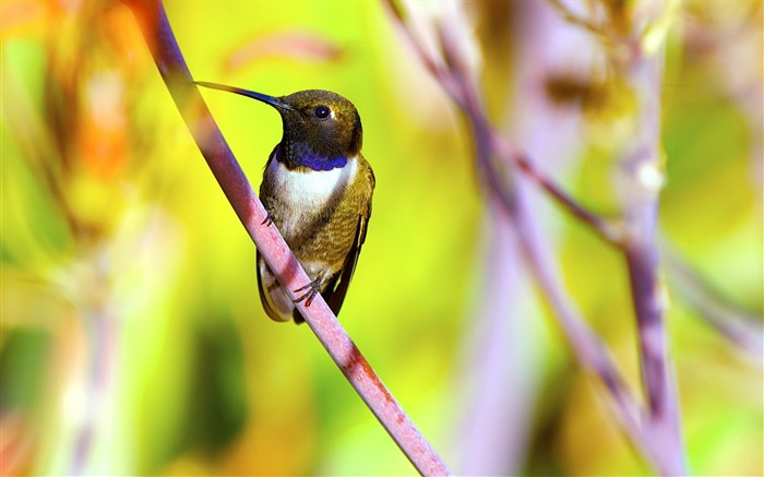 Hummingbird closeup-Spring Bird Photo Wallpaper Views:1159