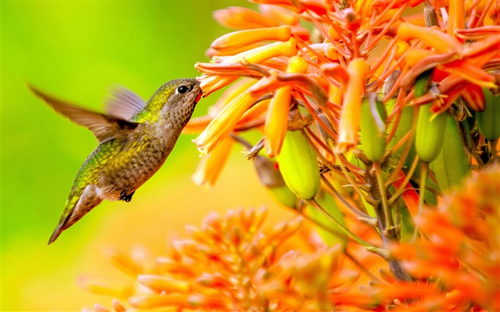 Hummingbird feeding on flower-Spring Bird Photo Wallpaper Views:1630