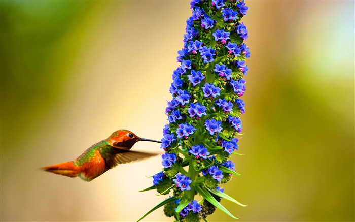 Hummingbird flying slow motion-Spring Bird Photo Wallpaper Views:1552
