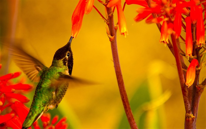 Hummingbird green back-Spring Bird Photo Wallpaper Views:1223