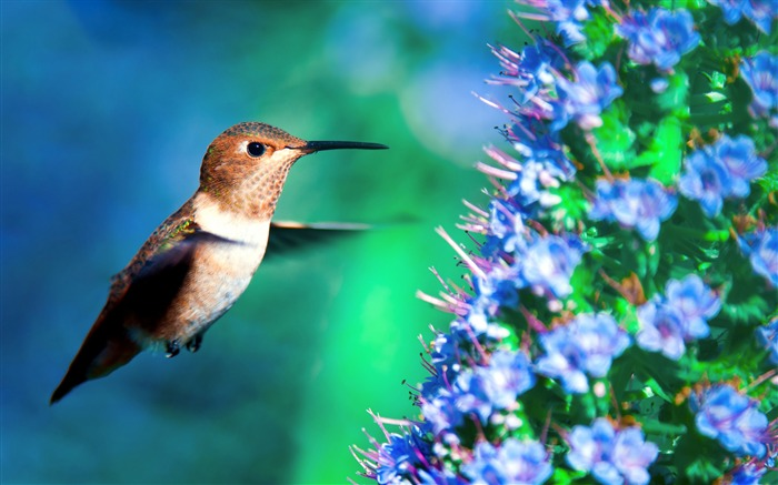Hummingbird in flight-Spring Bird Photo Wallpaper Views:1299