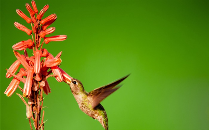 Hummingbird slow motion-Spring Bird Photo Wallpaper Views:1287