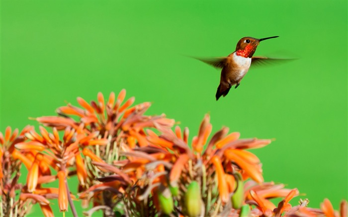 Rufous hummingbird aloe flowers-Spring Bird Photo Wallpaper Views:1191