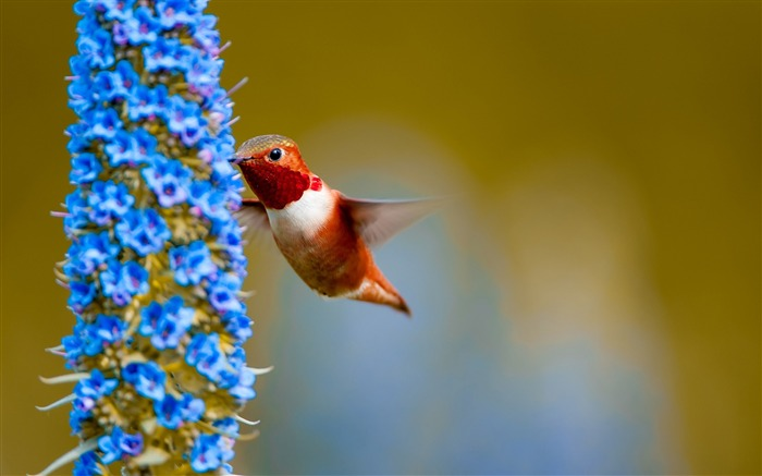 Rufous hummingbird feeding from flower-Spring Bird Photo Wallpaper Views:1419