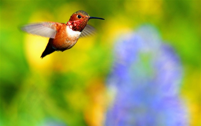 Rufous hummingbird flying-Spring Bird Photo Wallpaper Views:1316