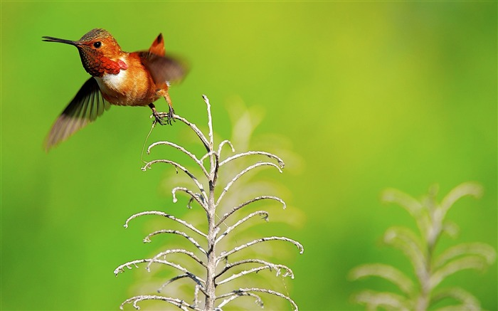 Rufous hummingbird male-Spring Bird Photo Wallpaper Views:923