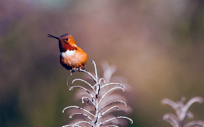 Rufous hummingbird perched twig-Spring Bird Photo Wallpaper Views:711