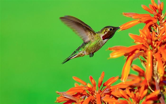 The hungry hummingbird-Spring Bird Photo Wallpaper Views:610