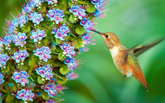 Wildlife hummingbird-Spring Bird Photo Wallpaper Views:849