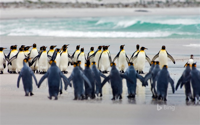 King penguin Falkland Islands volunteer point-2017 Bing Desktop Wallpaper Views:240