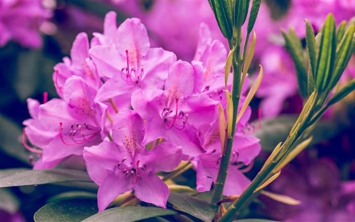 Purple rhododendron flower-2017 Spring Photo HD Wallpaper Views:1234