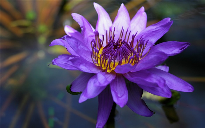 Purple water lily-2017 Spring Photo HD Wallpaper Views:1295