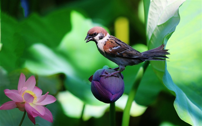 Sparrow lily flowers bird-High Quality Wallpaper Views:928