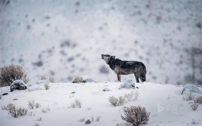 Wyoming A gray wolf in Yellowstone National Park-2017 Bing Desktop Wallpaper Views:714
