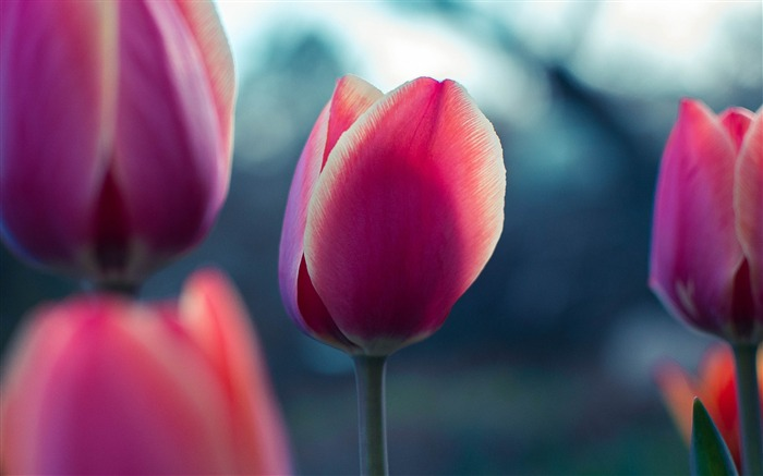 Tulip bud petals-2017 High Quality Wallpaper Views:427