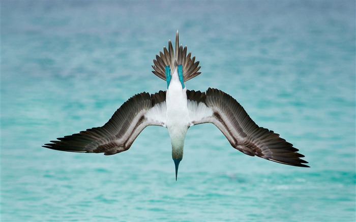 Blue footed booby-2017 Animal Wallpaper Views:670