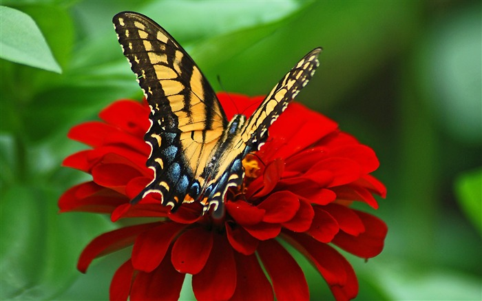 Butterfly red flower-2017 Animal Wallpaper Views:613