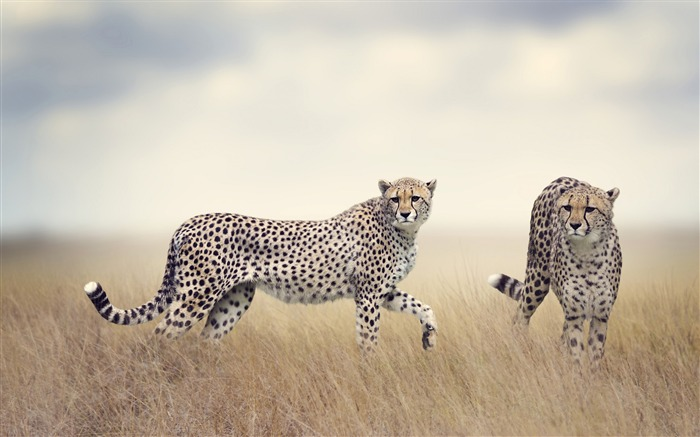 Cheetah wildlife-2017 Animal Wallpaper Views:813