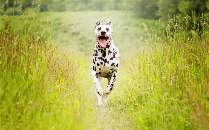 Dalmatian breed dog-2017 Animal Wallpaper Views:625