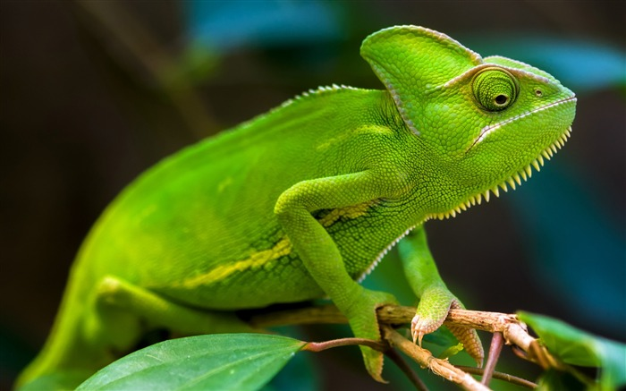 Green Chameleon-2017 Animal Wallpaper Views:705