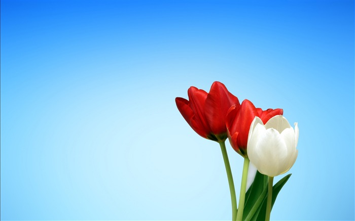 Spring red white tulips-2017 High Quality Wallpaper Views:418