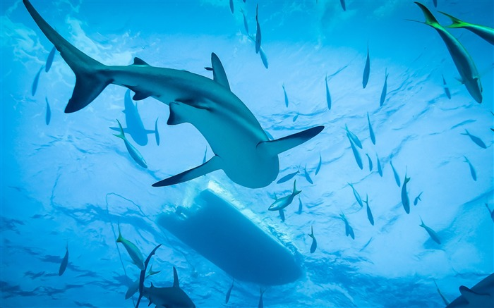 Swimming with sharks-2017 Animal Wallpaper Views:561
