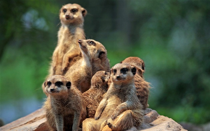 The meerkat clan-2017 Animal Wallpaper Views:533